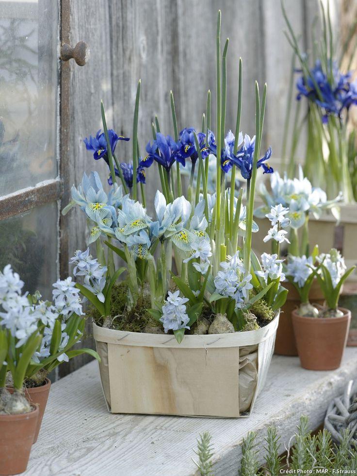 Potée de deux variétés d'iris bleus                                                                                                                                                                                 Plus