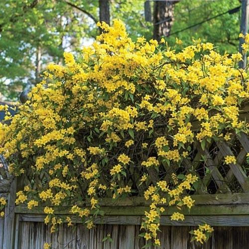 Best 25 carolina jasmine ideas on pinterest flowers for Hardy flowering trees