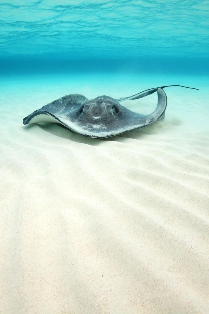 "0ce4n-g0d: "" Sting Ray at Sand Bar by nataliamdep """