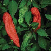 Bhut Jolokia Pepper NOT the hottest pepper in the world, but close...AKA Ghost pepper