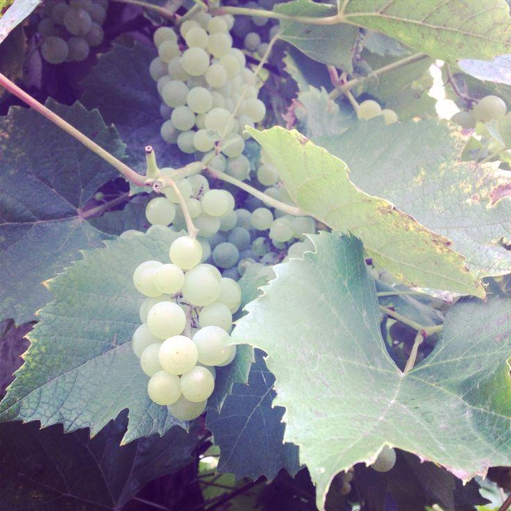 Wilder Wein