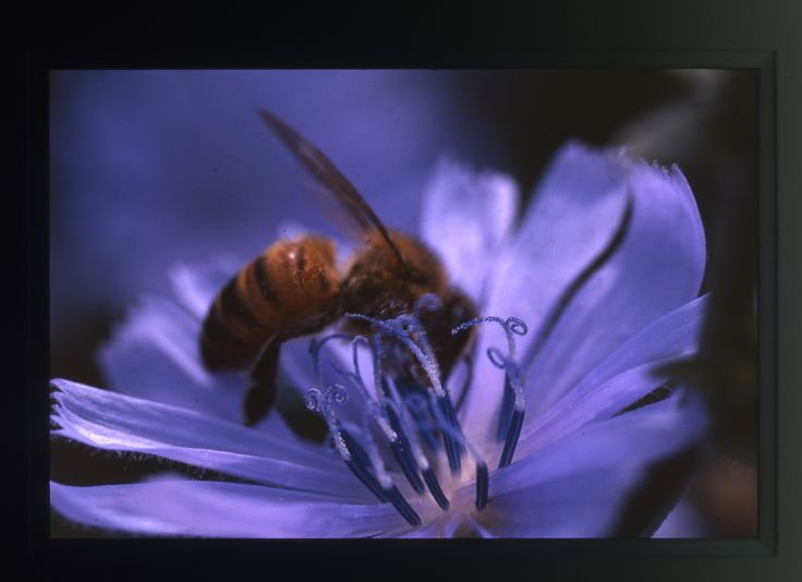 il #fiore blu del #radicchio