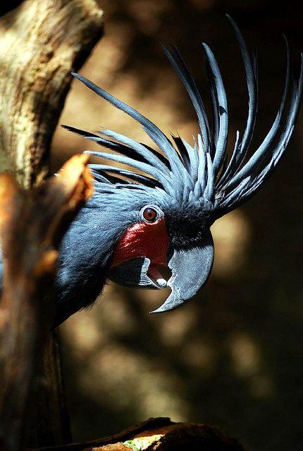 Palm Cockatoo, Australia