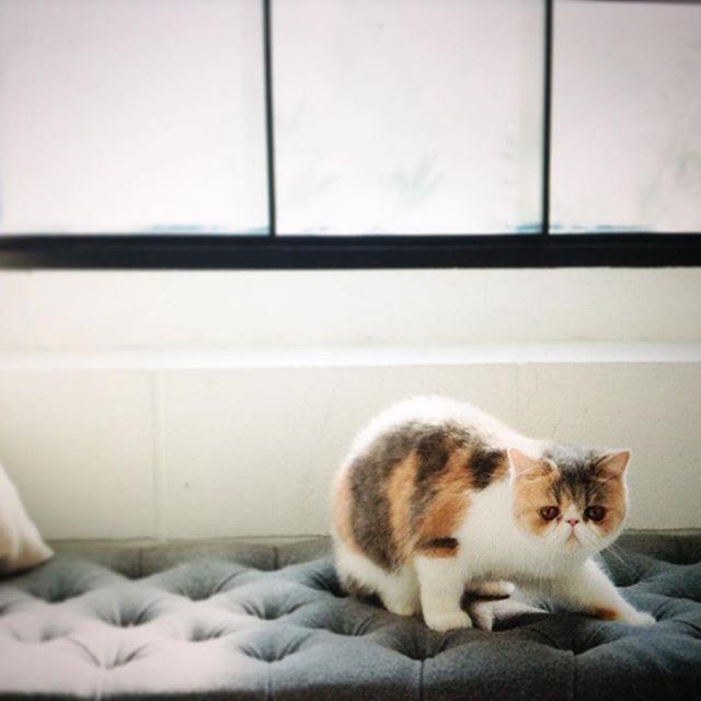 ドラマ『オトナ女子』で人気だった、ちくわさん。 発売中の美人百花3月号にて2ページにわたるグラビア披露 年明けのご褒美時間でした #ちくわ#猫#ネコ#cat #猫のグラビア#モデルが猫って実は初#表紙にも居るから見つけてabeyukie2016/02/16 10:01:26