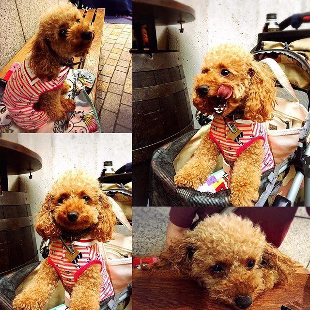 久しぶりのお出かけ♡楽しかったよ♡  #おはようございます #快気祝い #うまうま #ぺろんちょ  #バギーでお出かけ #復活祭  #dog #dogstagram #lovedogs #toypoodle #instapet #instapoodle #instagramdogs #愛犬 #lily #リリィLOVE #我が家の宝物 #我が家のアイドル #トイプードルレッド #トイプードル #犬バカ部 #犬ばか #ふわもこ部 #pecoいぬ部