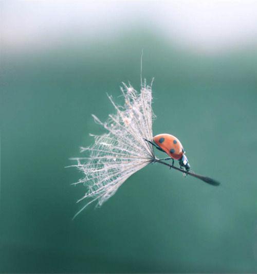 Coccinelle sur un pollen - Ladybug