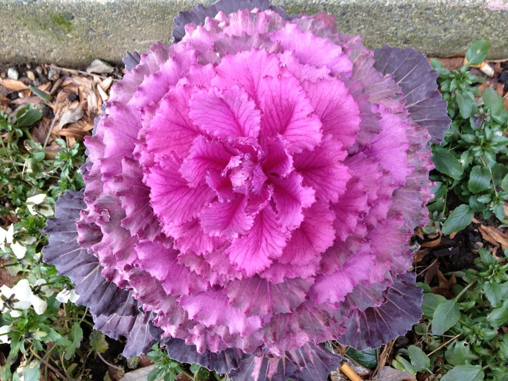Frilly Pink
