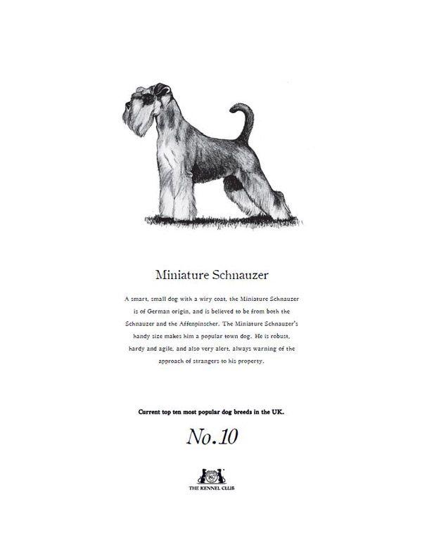 Miniature Schnauzer Tea Towel The Kennel Club Official Shop