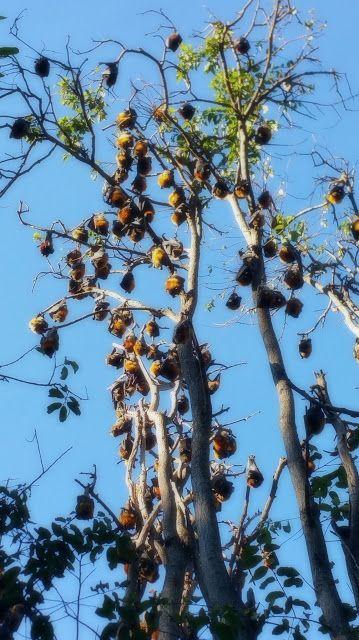 Redcliffe Botanic Gardens - Megabats, Flying foxes, Fruit bats