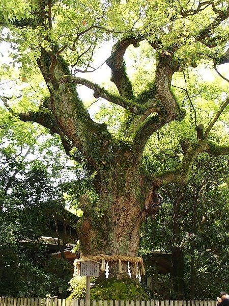 巨木畏怖紀行 熱田神宮の楠 チョコレート盆々