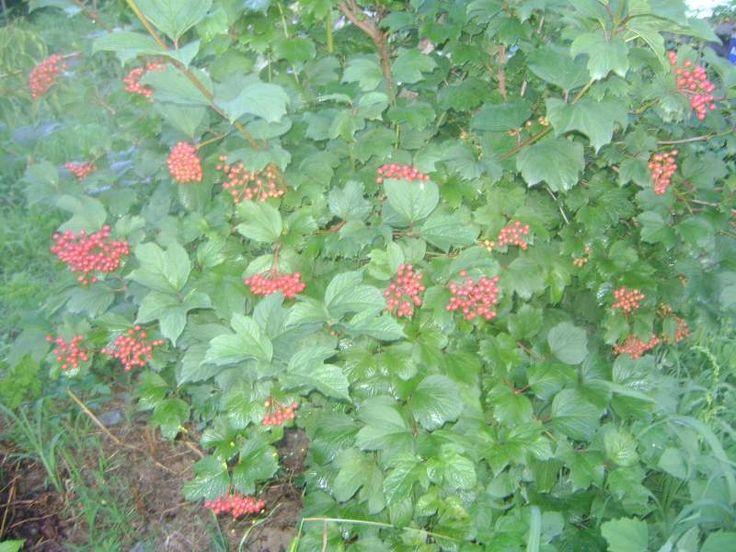 Athena- asena; Bağ Evimin Bahçesi - Sayfa 3 Bahçeden Gilaburu meyvesi