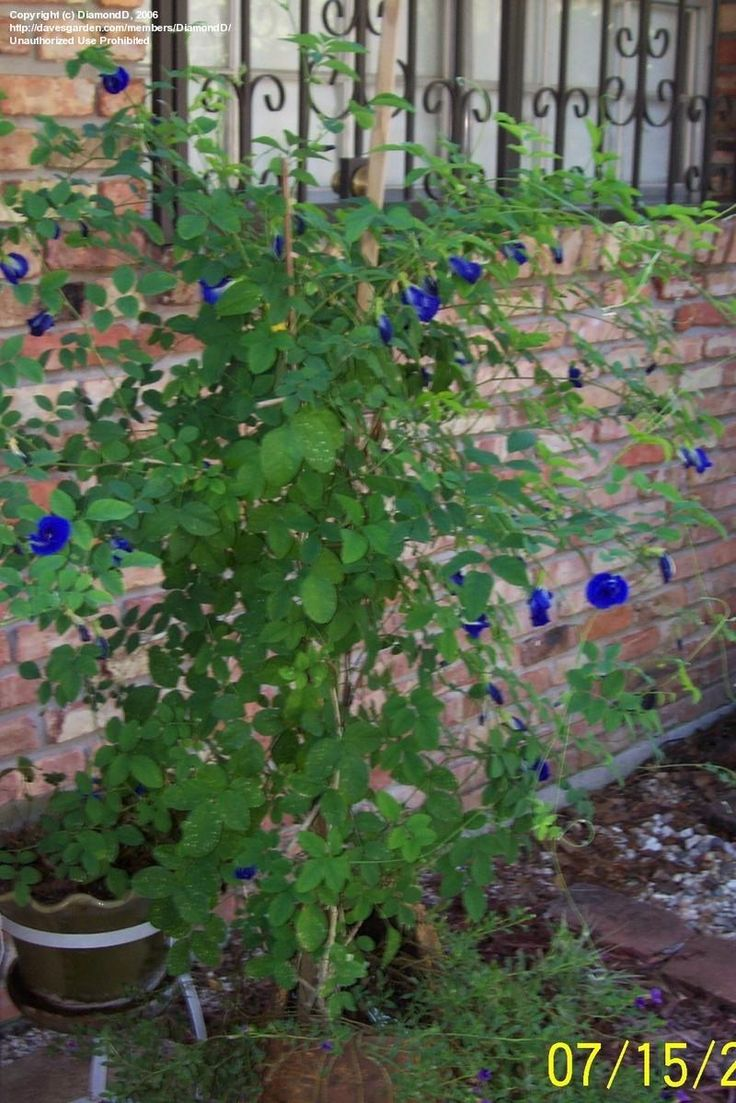 Plantfiles Pictures Butterfly Pea Blue Pea Vine