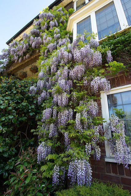 Purple wisteria flowers (June 3rd)   Wisteria sinensis flowe…   Flickr