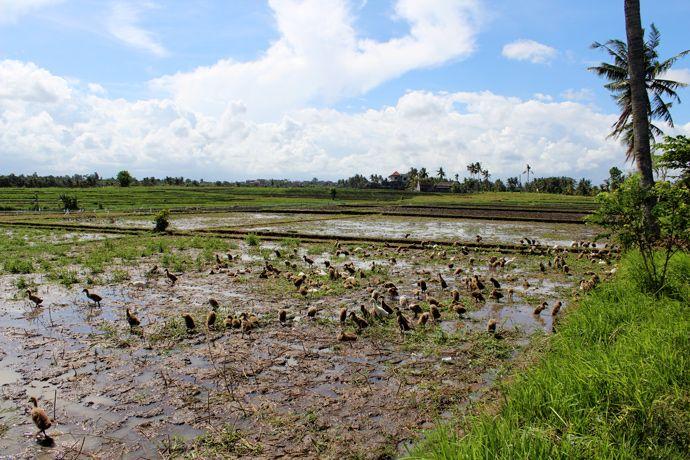 July 2013 - Indonesia - Bali - Canggu - Little ducks on rice field