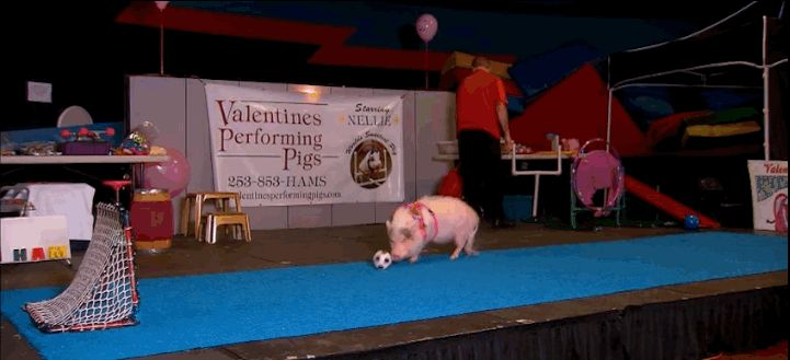 Pigs can be taught to do tricks! | 14 Facts That Will Change The Way You Look At Pigs