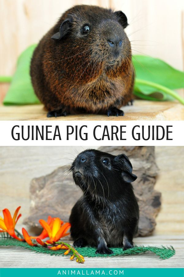 Pin On Guinea Pig