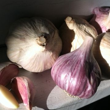 It's so easy: Plant garlic now
