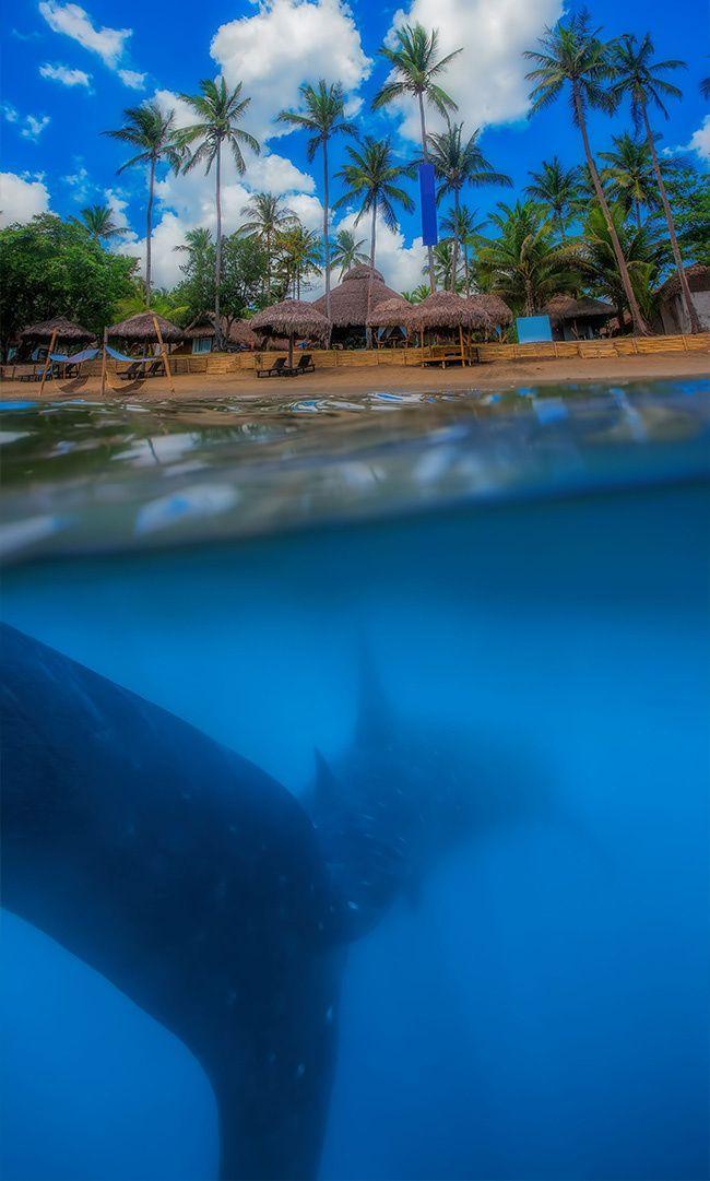 tiburones-ballena-en-la-bahía-de-Donsol-Filipinas