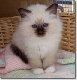 Seal-point Birman kitten - looks like someone just pulled him out of the dryer.