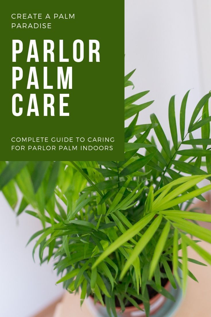 How to care for a parlor palm chamaedorea elegans house