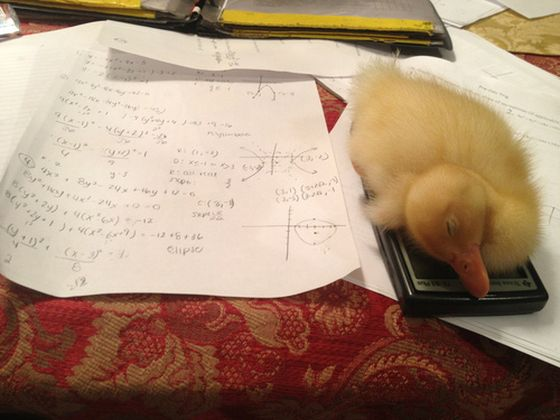 The calculator must be warm from so much use. Sweet little ducky cuddled up on it for a snooze.