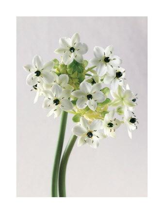 White arabicum ornithogalum: all year  $$
