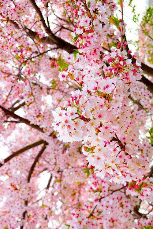 handmade designer jewelry Cherry blossoms  Grow