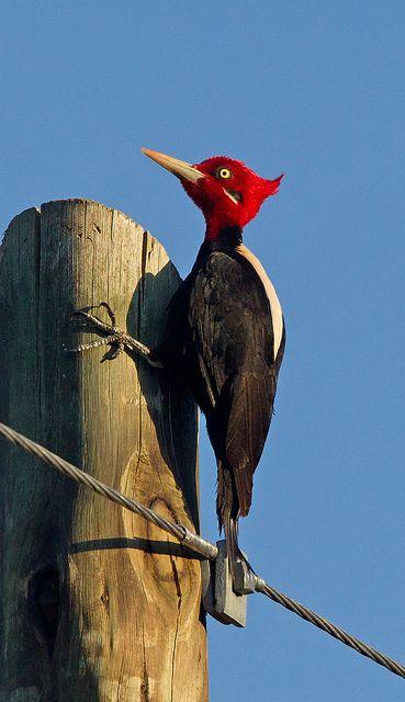 by Graham Ekins ~ Cream-backed Woodpecker Carpintero Lomo Blanco Campephilus leucopogon ~ sunning in Argentina