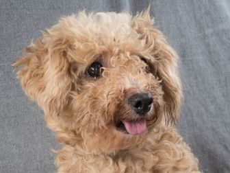 Poodle (Toy or Tea Cup) Mix Dog for adoption in Colorado Springs, Colorado - Carly
