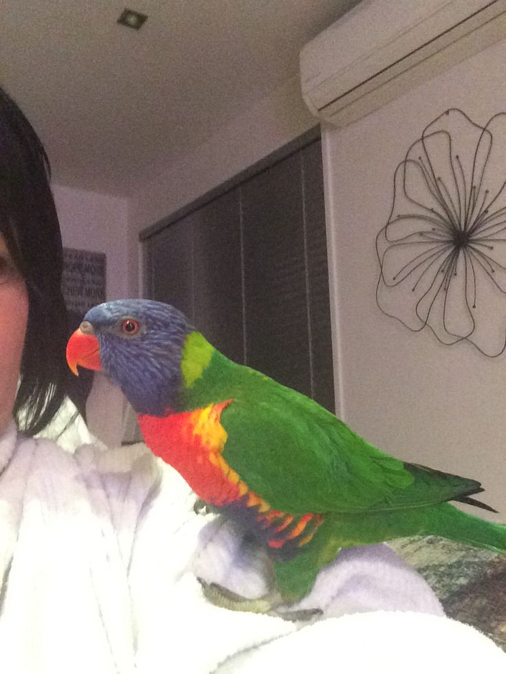 """My beautiful lorikeet """"Chilli"""" who sadly passed away this year ... I miss her"""