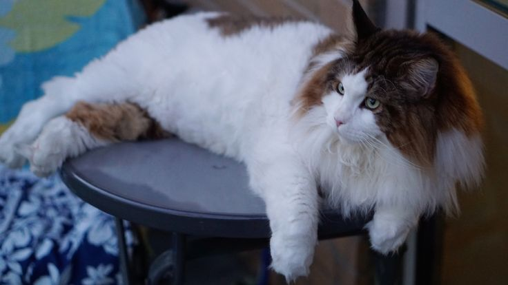 Meet the World's Largest House Cat: Meet Samson, the largest house cat not just in New York, but probably the entire world.