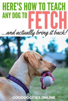 Does your dog know how to fetch? Or are your troubles on getting the item back? Here's how to teach your dog to fetch something and give it back! via @KaufmannsPuppy