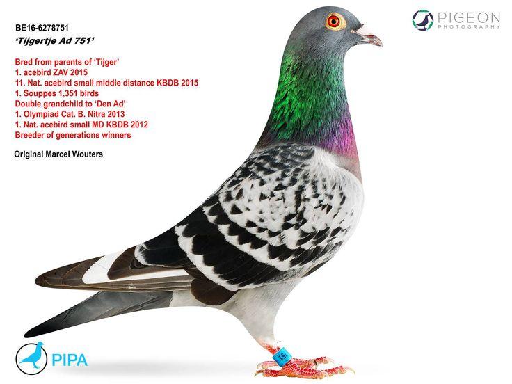 Tijgertje Ad 751 | PIPA