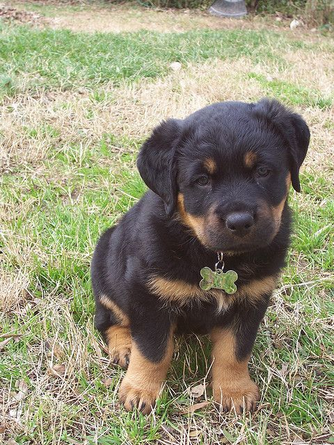 Strong German World Cup Names For Rottweilers