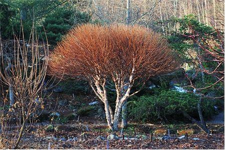 Betula nigra 'Little King'