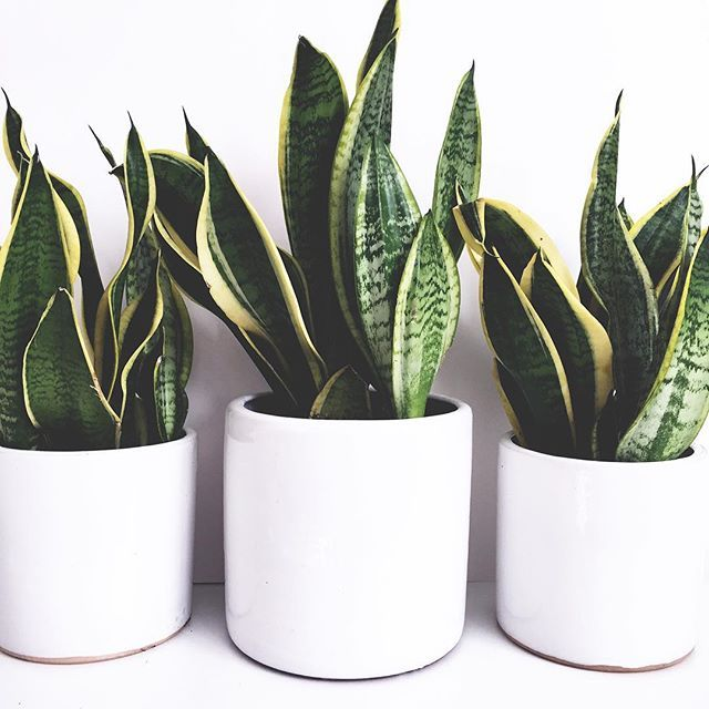 {SNAKE} thank you everyone who commented on my previous plant post and told me I must pick up some snake plants for the home. Not only are they hard to kill but apparently they are also amazing air purifiers. That's a win/win in my book so I picked up a few today. In other news, I have developed a slight addiction to @plantdepotsjc and along with plants and pots I may have also come home with another tree... #interiordesign #plants #snakeplant