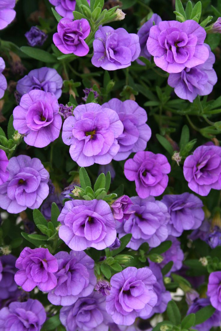 What is even better than Million bells?Superbells - Double Calibrachoa Abundant, small double petunia-like flowers all season on cascading growth; low maintenance.