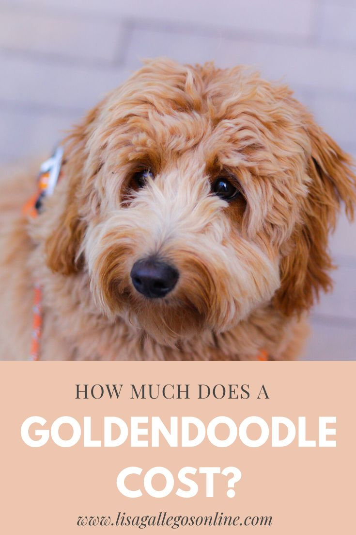 Cost of a goldendoodle goldendoodle most cutest dog