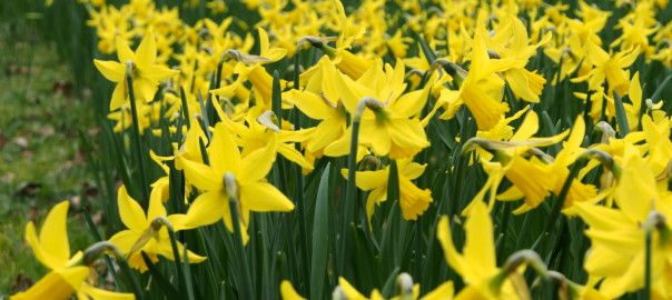 A sea of cheery Daffodils.