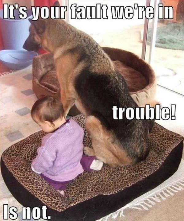 german shepherd puppy funnies | Dog Pictures: Funny Dog Memes