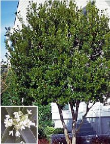 osmanthus tree    This is a favorite old-fashioned evergreen shrub or small tree most notable for its sweetly fragrant flowers. Work's well as a foundation plant when used to cover a blank wall or as a corner plant. Makes a healthy, dense and wonderfully scented small tree.    We often plant Tea Olive near patios, decks, and other sitting areas where the fraganced can be enjoyed. One plant can emit enough fragrance to cover a small backyard!