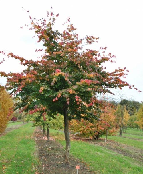 Parrotia persica #tree #autumn #colours www.vdberk.co.uk