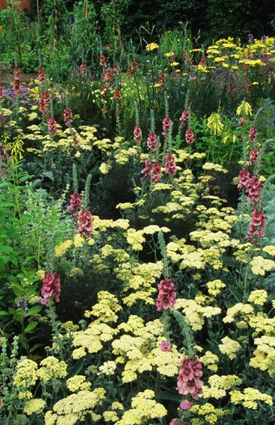 "Achillea ""Anthea"" the perfect pale yellow for summer, and Verbascum ""Megan's Mauve"", John Glover"
