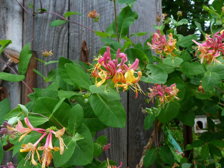 Everyone recognizes that lovely fragrance of a honeysuckle plant and the sweet taste of its nectar. A honeysuckle plant is a great addition to any landscape, and you can learn more about them here.
