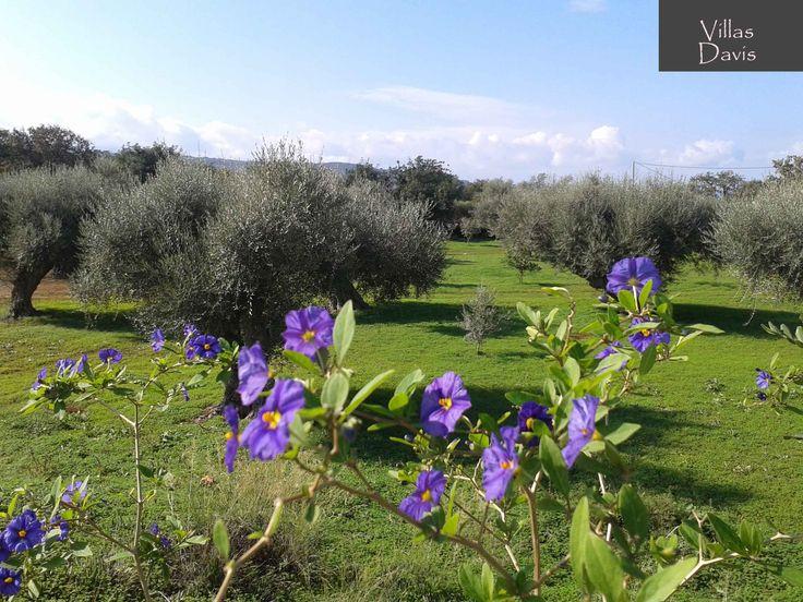 Olive forest at Villas Davis Farm