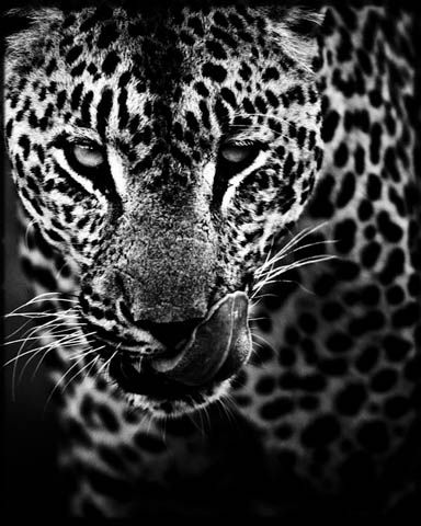 Leopard Hunt, photography by Laurent Baheux