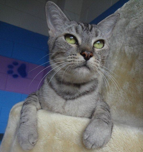 Gina        1 year old female      Domestic Short Hair x      Bracken Ridge, QLD      ID: 898651    Purr machine award: Gina is an absolute sweetheart who loves hanging out with human folk but also likes time to herself to explore. She is very responsive when patted; the V8-engine purring begins the moment you start! We think our lovely Gina would adjust well in any home environment that is seeking a little extra love!