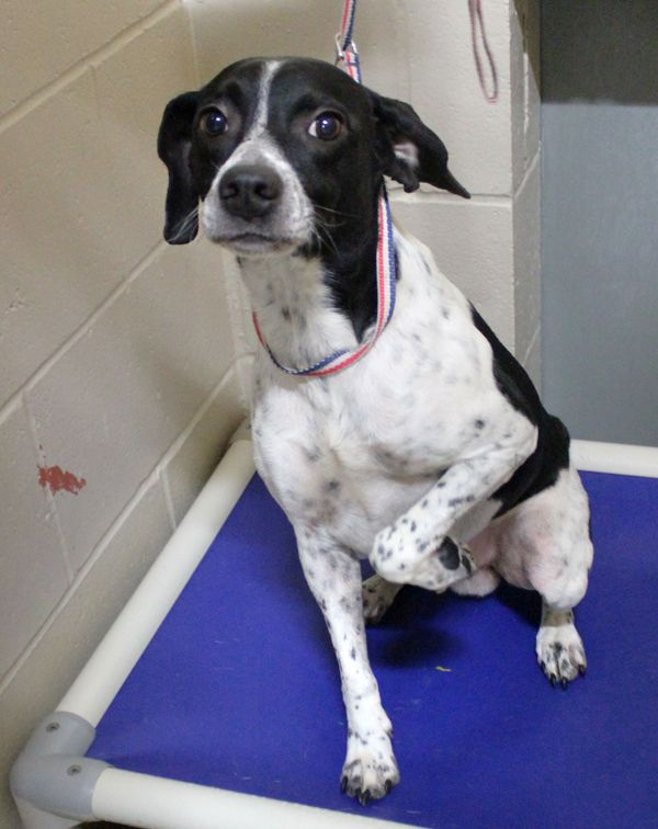 10/05/2016 UPDATE ADOPTED  We really liked #27641 BUDDY! He is a pleasant, little Beagle mix male who weighs 32 pounds and is between 3 and 5 years old according to his teeth. He was friendly and watched us carefully to see what we wanted him to do. This little guy came...Saint Joseph Animal Shelter 701 Lower Lake Road Saint Joseph, MO 64504 (816) 271-4877