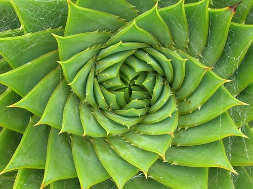 greenFibonacci Spirals, Pattern, Nature, Green, Art, Beautiful, Plants, Sacred Geometry, Golden Ratio