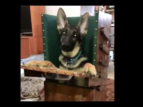 Loki is a 4-6 months old male German shepherd puppy. Rescue at Orange County German Shepherd Rescue.